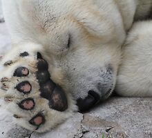 Sleepy Polar by CcoatesPhotos
