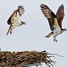 Synchronized Osprey by Tom Talbott