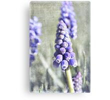 Grape Hyacinth Canvas Print