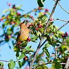 Cedar Waxwing Berry Juggle by Tom Talbott