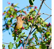 Cedar Waxwing Berry Juggle Photographic Print