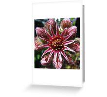 Sempervivum - Liveforever - Donderblad Greeting Card