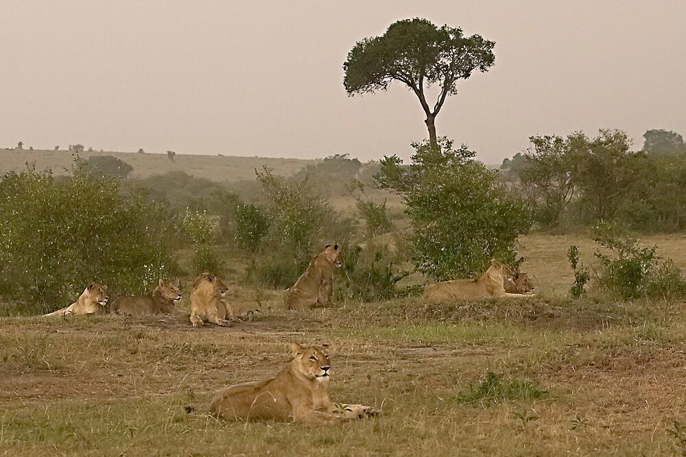 Seven Lions - Sieben Löwen by Henry Jager