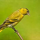 Siskin by Margaret S Sweeny