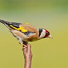Goldfinch by M.S. Photography & Art