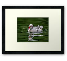 Silver Wood Duck Framed Print