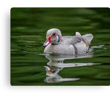 Silver Wood Duck Canvas Print