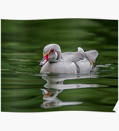 Silver Wood Duck Poster