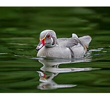 Silver Wood Duck Photographic Print
