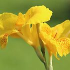 Yellow Canna Lilies by hummingbirds