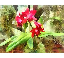Maroon Cattleya Orchids Photographic Print