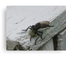 Hungry Robberfly Canvas Print