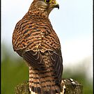 Kestrel by alan tunnicliffe