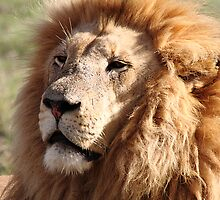 Lion Portrait by Carole-Anne