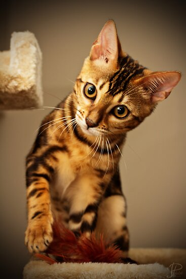 Bengal Cat by JPAube