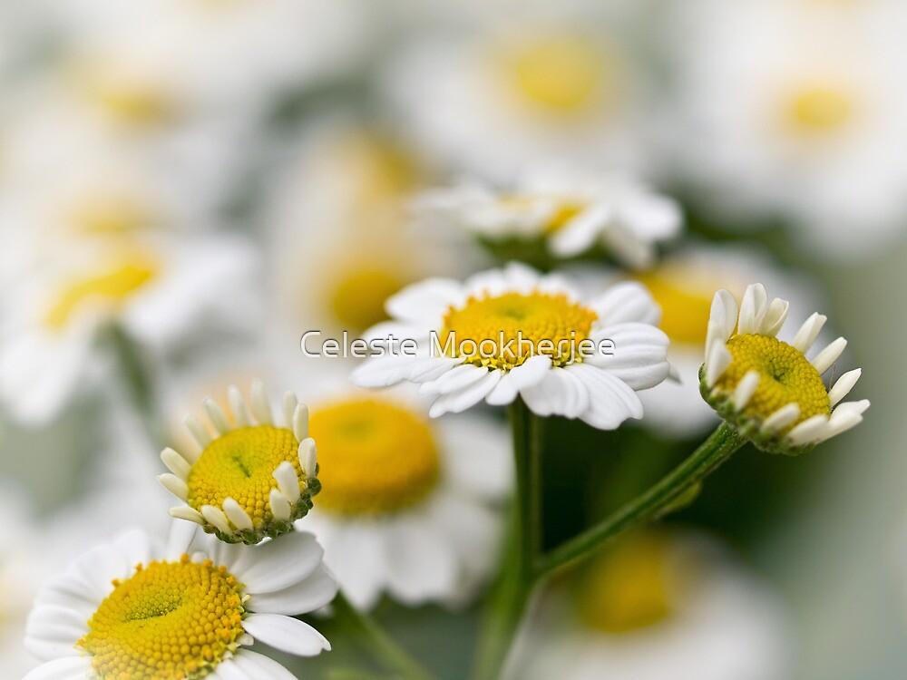 Daydreaming daisies by Celeste Mookherjee
