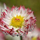 Daisy by InaLina
