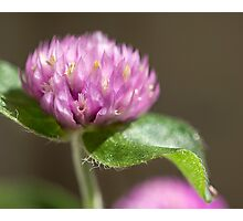 Globe Amaranth Photographic Print