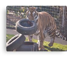 Tiger hunt Canvas Print