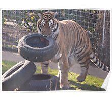 Tiger hunt Poster