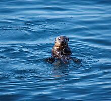 Eye Contact - Young Sea Otter by Stephen Beattie
