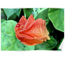 Orange Hibiscus - Daily Homework - Day 71 - July 19, 2012 Poster