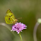 butterfly, near Lago Trasimeno, Umbria by Andrew Jones