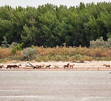 Wild Horses on the River by Kim Barton
