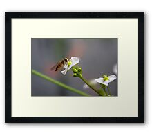 Hoverfly on tiny Flower of Mad-dog Weed Framed Print