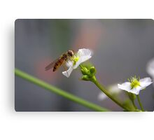 Hoverfly on tiny Flower of Mad-dog Weed Canvas Print