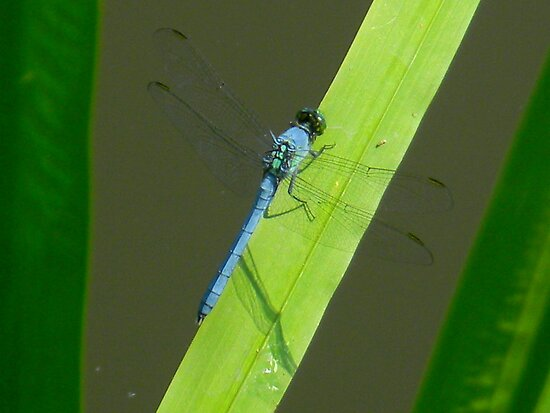 Blue Dragonfly by CrystalFanning
