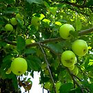 Apple Tree 2 by CrystalFanning
