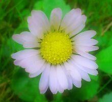 Daisy by Kellyanne