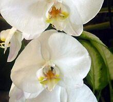 Lovely White Orchids by Angela Gannicott
