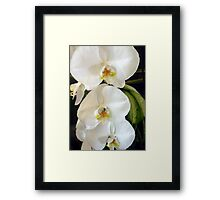 Lovely White Orchids Framed Print