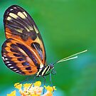 Isabella's Longwing Butterfly by Fern Blacker