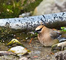 Bathing Cedar Waxwing by Tom Talbott