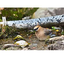 Bathing Cedar Waxwing Photographic Print