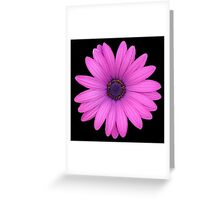 Pink African Daisy Isolated on A Black Background Greeting Card