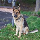 My German Shepard by MrTaskaev