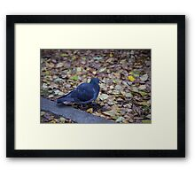 Autumn pigeon Framed Print