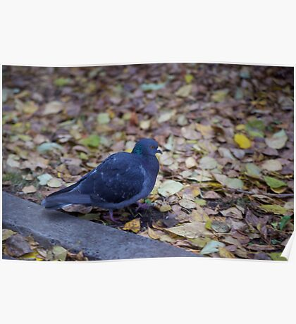 Autumn pigeon Poster