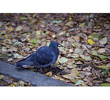 Autumn pigeon Photographic Print
