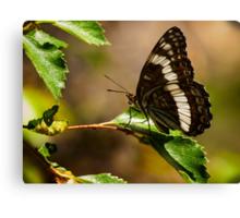 Weidemeyer's Admiral Butterfly Canvas Print