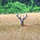Maryland Whitetail Deer by Monte Morton