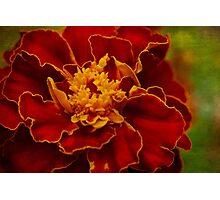 Velvety petals Photographic Print