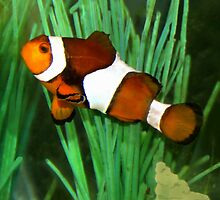 Ocellaris Clownfish (Amphiprion ocellaris) by vette