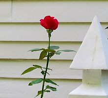 One Red Rose by Cynthia48