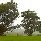 Eucalypts in the rain, Gippsland, Victoria, Australia.  by johnrf