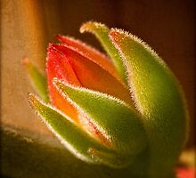 Echeveria bud in backlight by Celeste Mookherjee